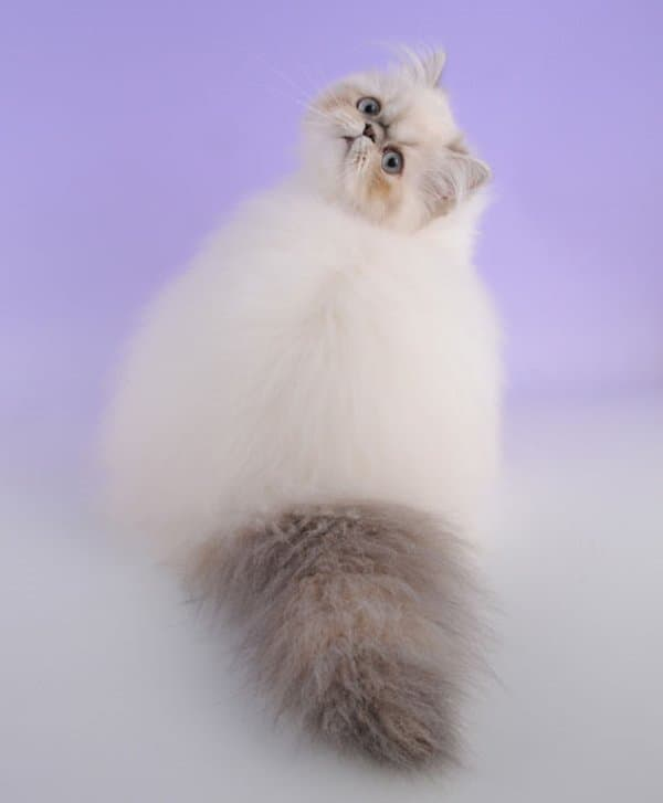 fluffy-cats-look