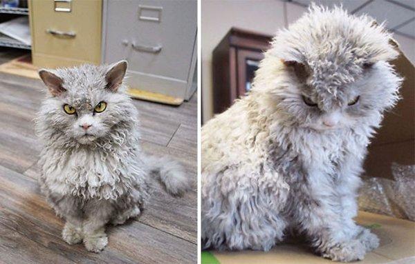 fluffy-cats-sheep