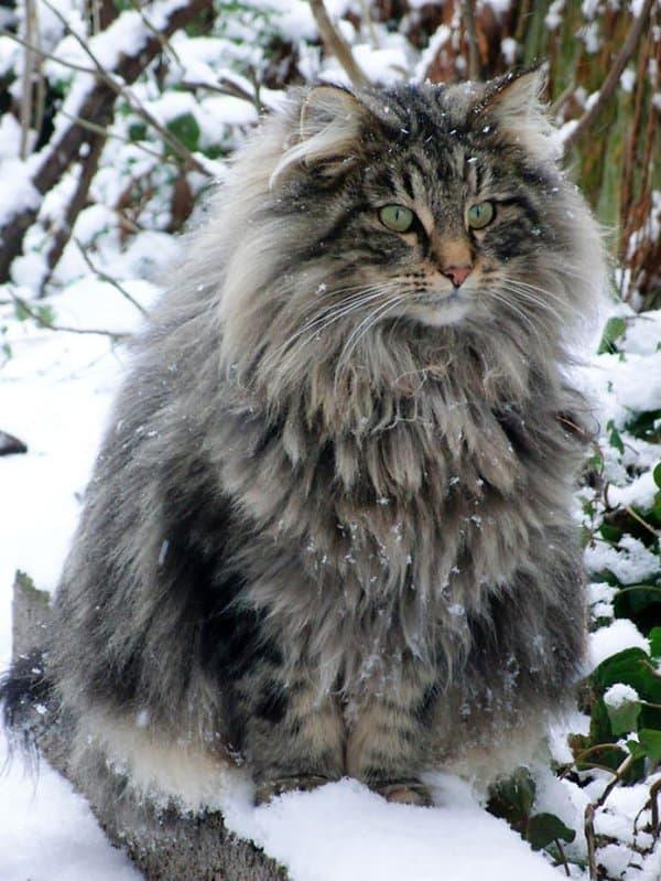 fluffy-cats-snow
