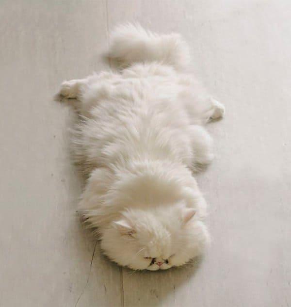fluffy-cats-sprawl