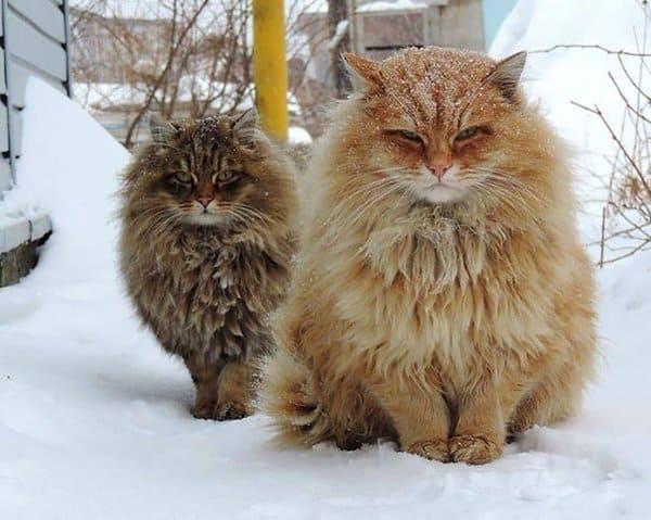 fluffy-cats-winter