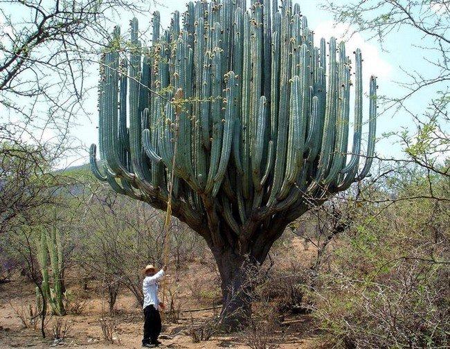 gigantic cactus