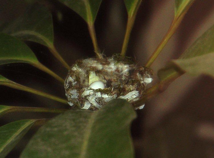 humming-egg