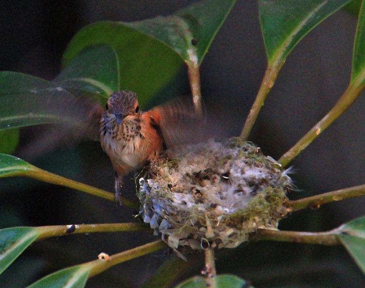 humming-fly