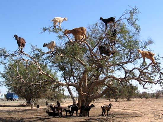 interesting-images-tree-goats