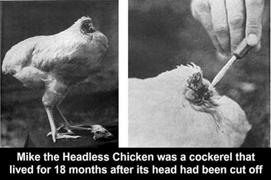 mike the headless chicken being fed