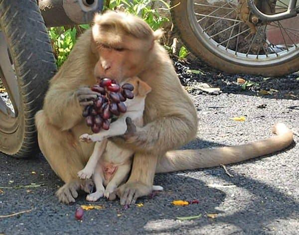monkey-dog