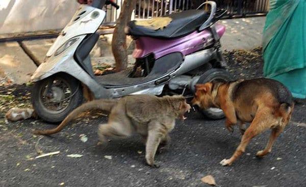 monkey-dogs