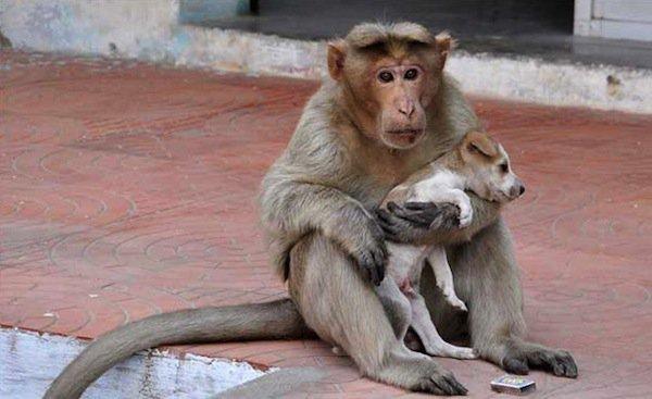 monkey-pup