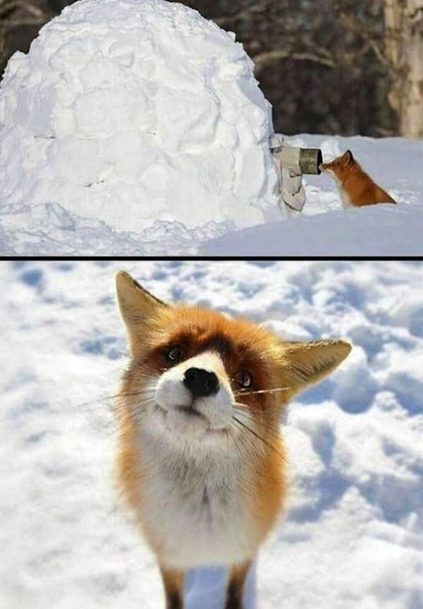 police-foxes