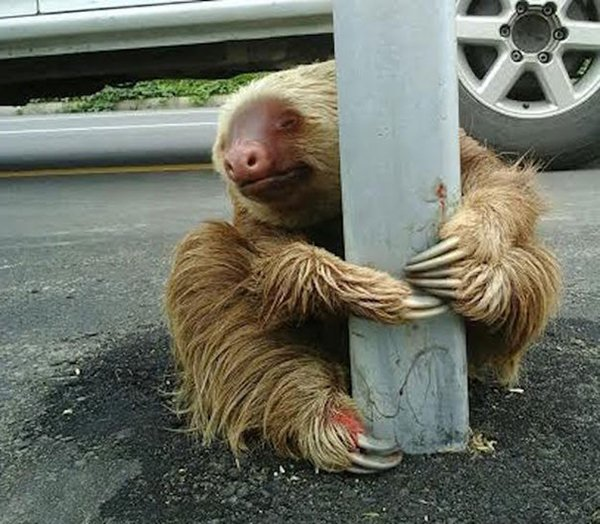 police-rescue-sloth-cross-highway-ecuador-bottom