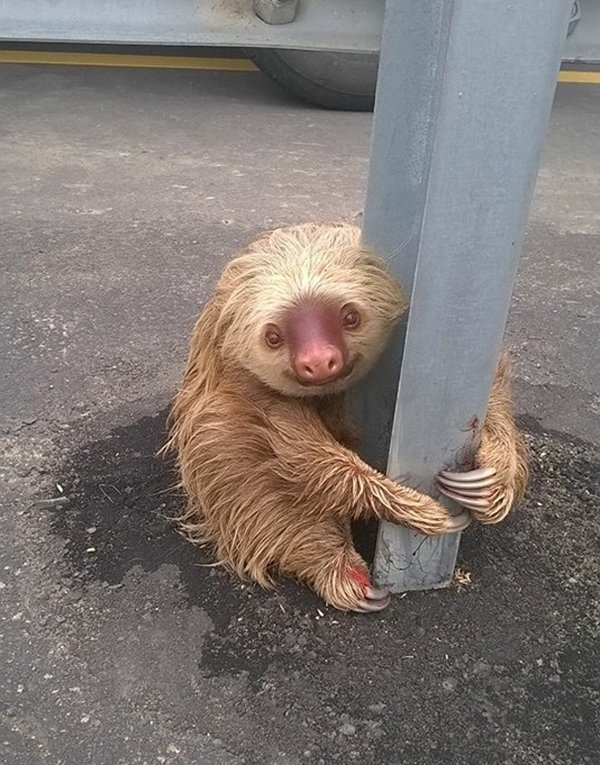 police-rescue-sloth-cross-highway-ecuador-sloth-next