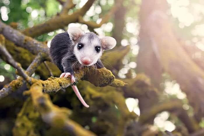 possum-baby