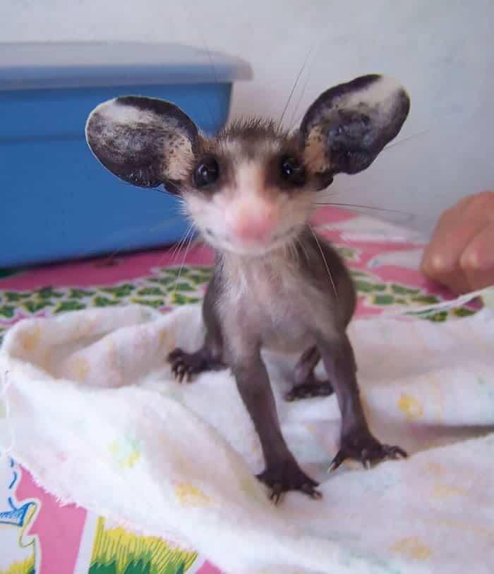 possum-big-ear