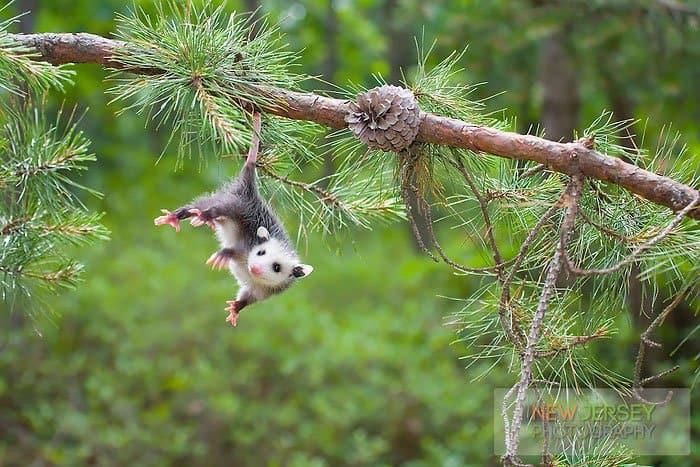 possum-hang
