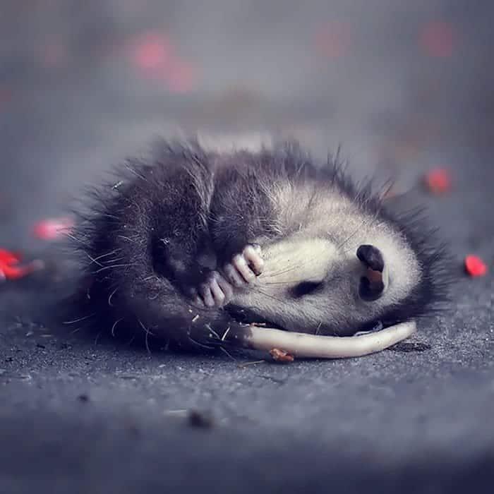 possum-orphan