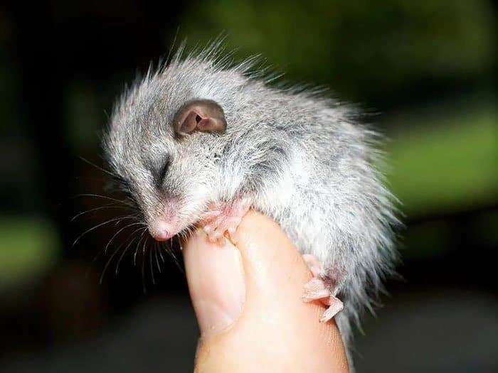 possum-pygmy