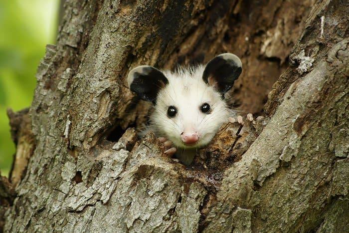 possum-tree