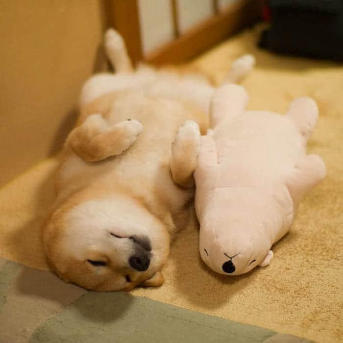 shiba-inu-maru-sleep-toy-back