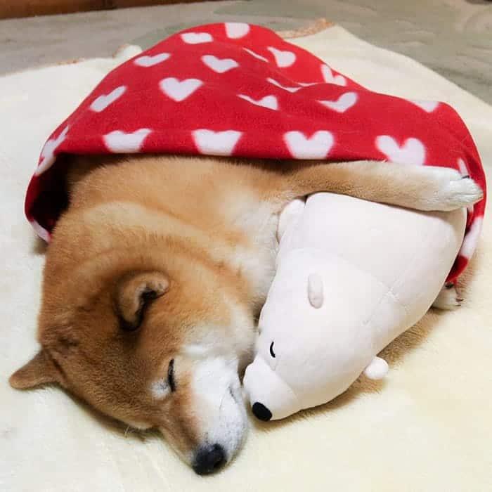 shiba-inu-maru-sleep-toy-blanket