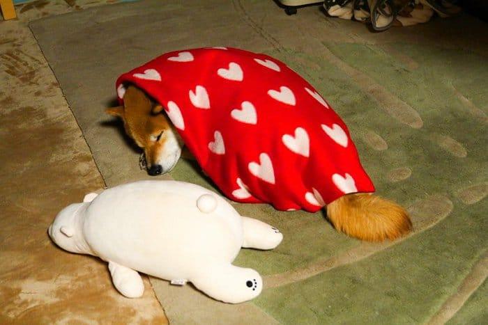 shiba-inu-maru-sleep-toy-curl