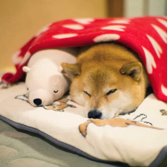 shiba-inu-maru-sleep-toy-front