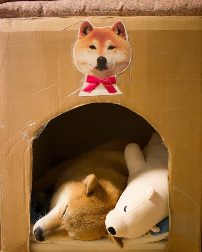 shiba-inu-maru-sleep-toy-house