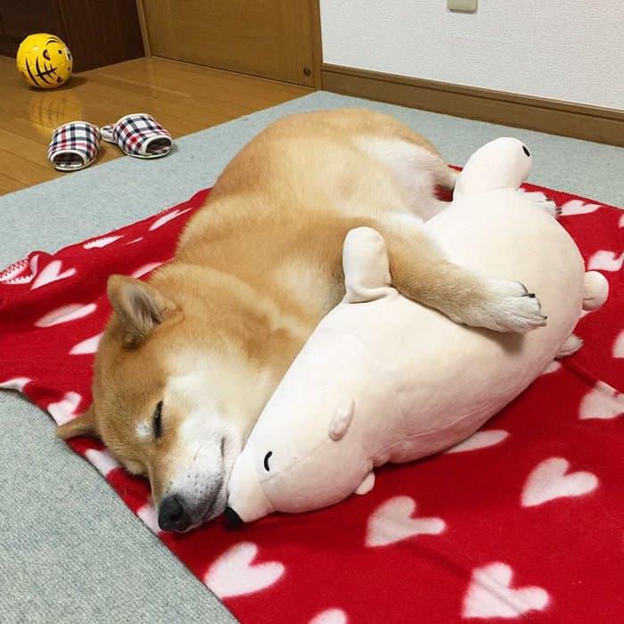 shiba-inu-maru-sleep-toy-hug