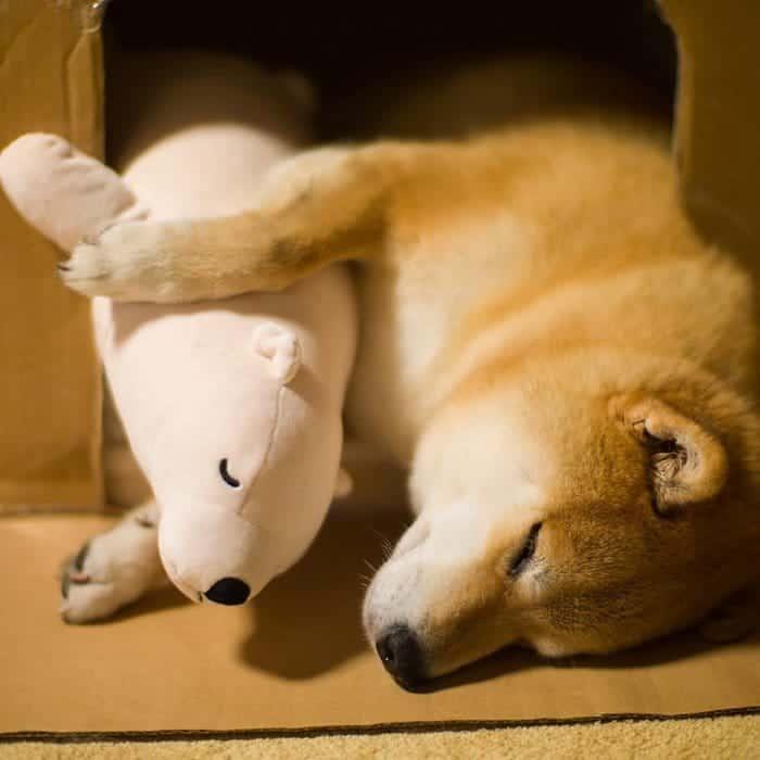 shiba-inu-maru-sleep-toy-spoon