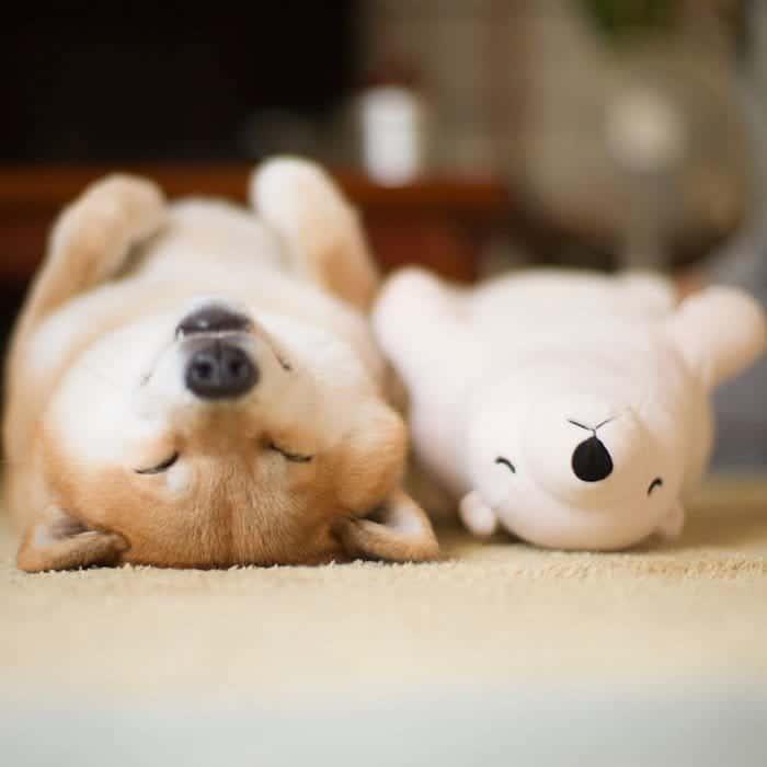 shiba-inu-maru-sleep-toy-top