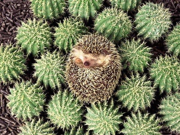 sleep-hedgehog