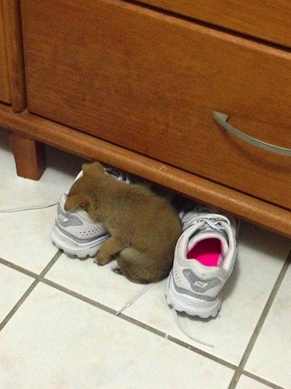 sleep-puppy-shoe