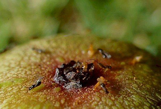 wasp fig hole