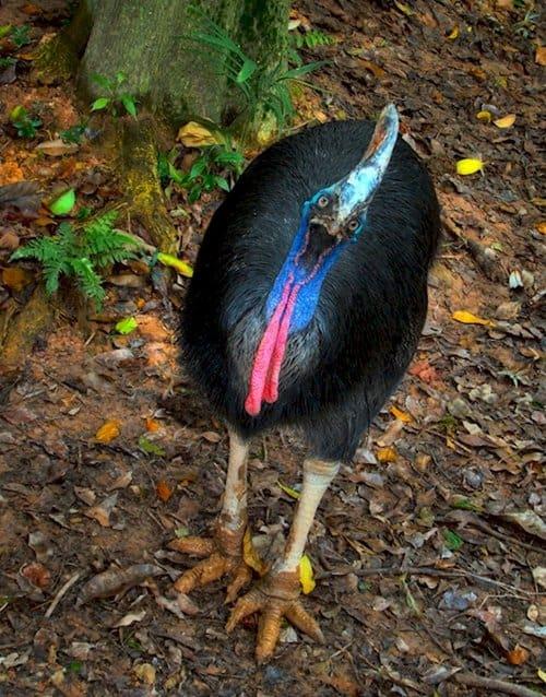 weird-creatures-cassowary
