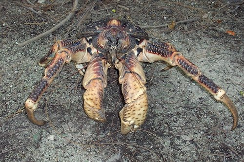 weird-creatures-coconut-crab