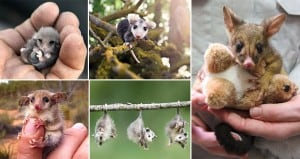 Cute Photos Possums Opossums