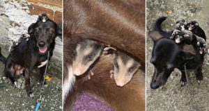 Dog Adopted Baby Opossums