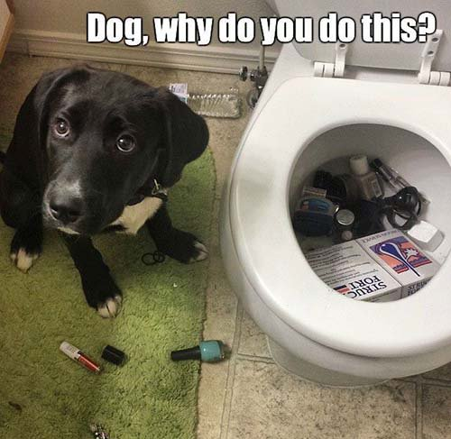Dog Why