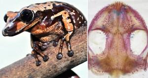 Frog Venomous Head Butting Scientist