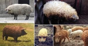 Fuzziest Pigs Ever