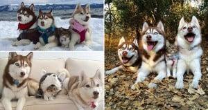 Huskies Adopted Cat Best Friend