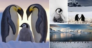 Incredible Images Penguins