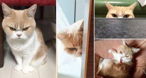 Japanese Version Grumpy Cat
