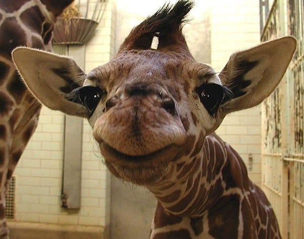 animals-giraffe