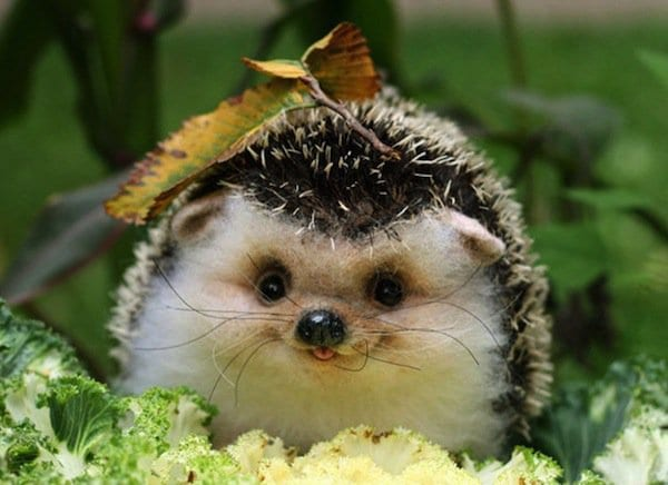 animals-hedgehog-two
