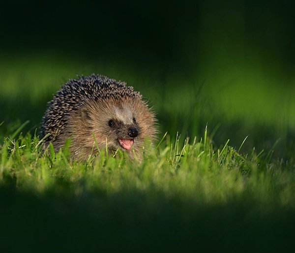 animals-hedgehog