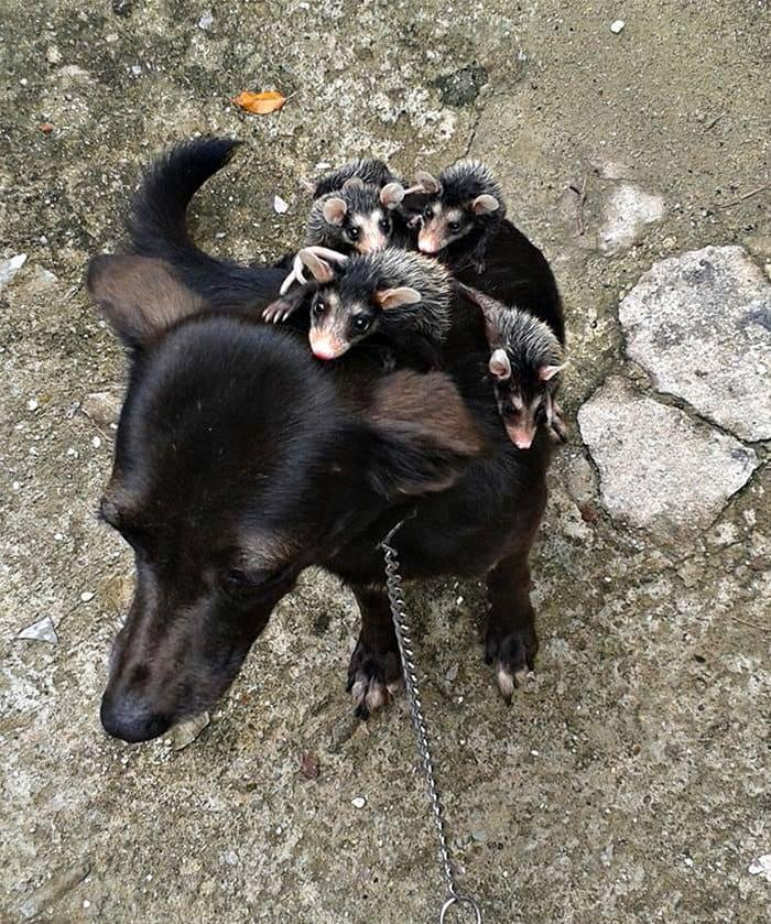 dog-opossum