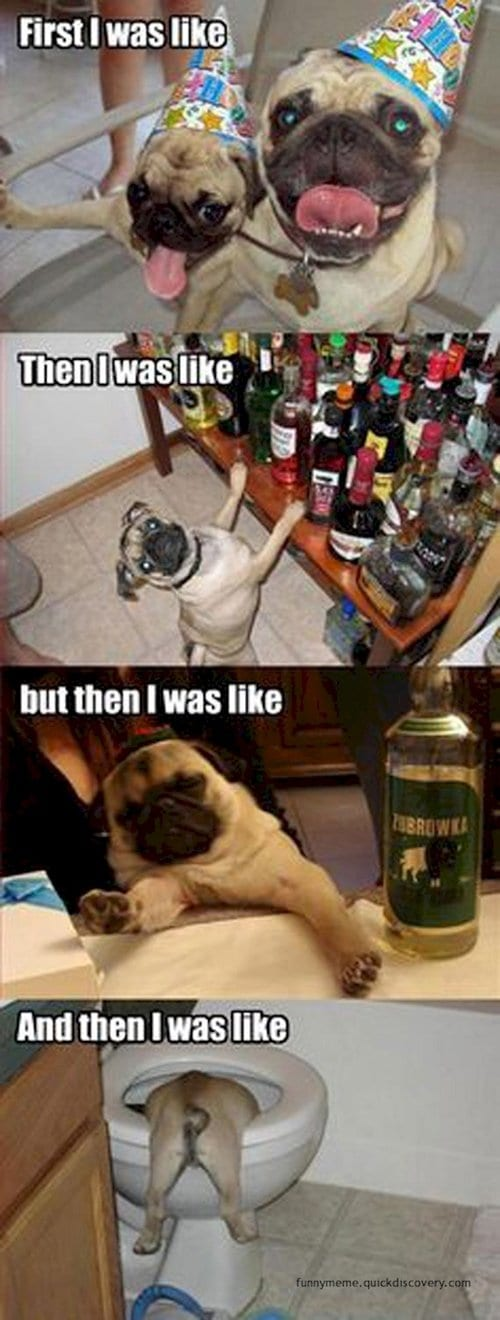 drunk-pug