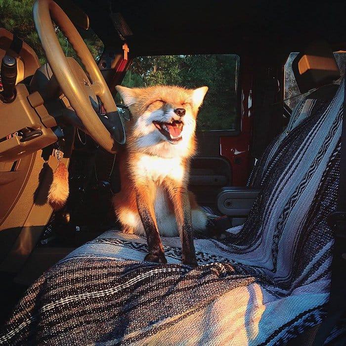 fox-car