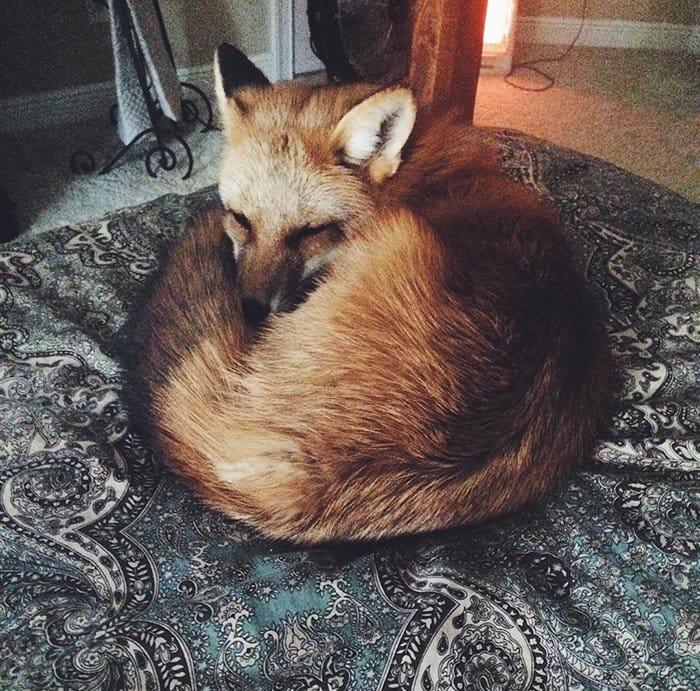 fox-circle